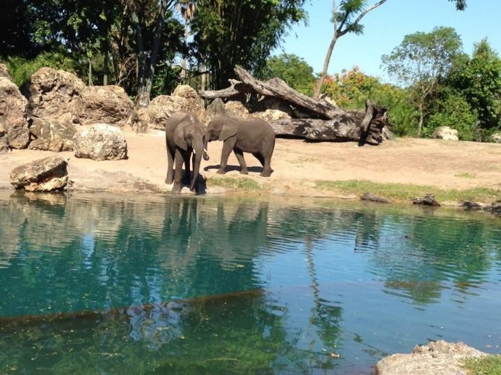 Live elephants, tusks intact.